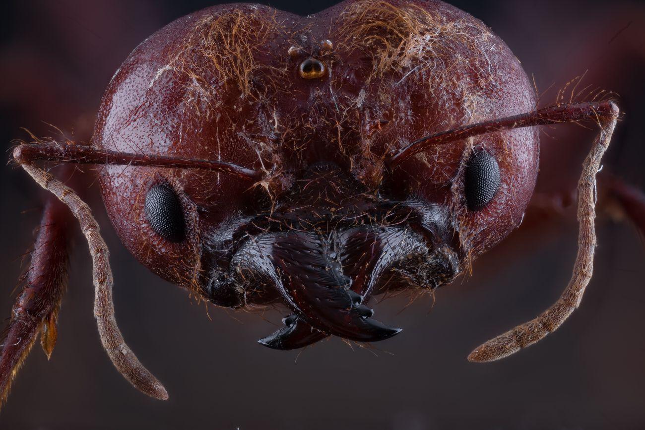 Atta  Sexdens leaf cutter ant