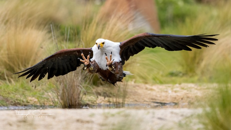 Fish eagle doing a spot of fishing