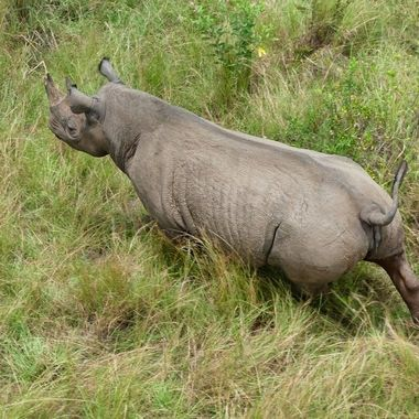 Black Rhino on the Run