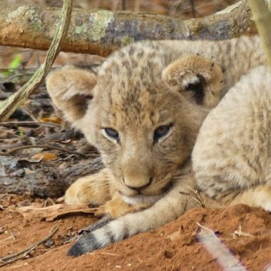 Pic was taken in Akagera National Park. It was the only cub visible in the den. The other cubs were deep in a thicket.