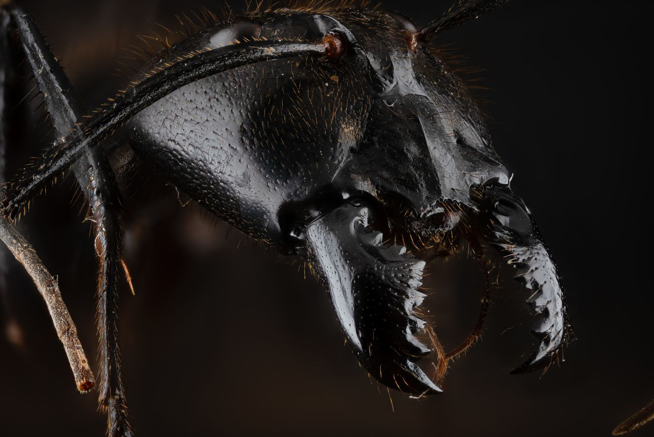 Camponotus Gigas Large Soldier Ant