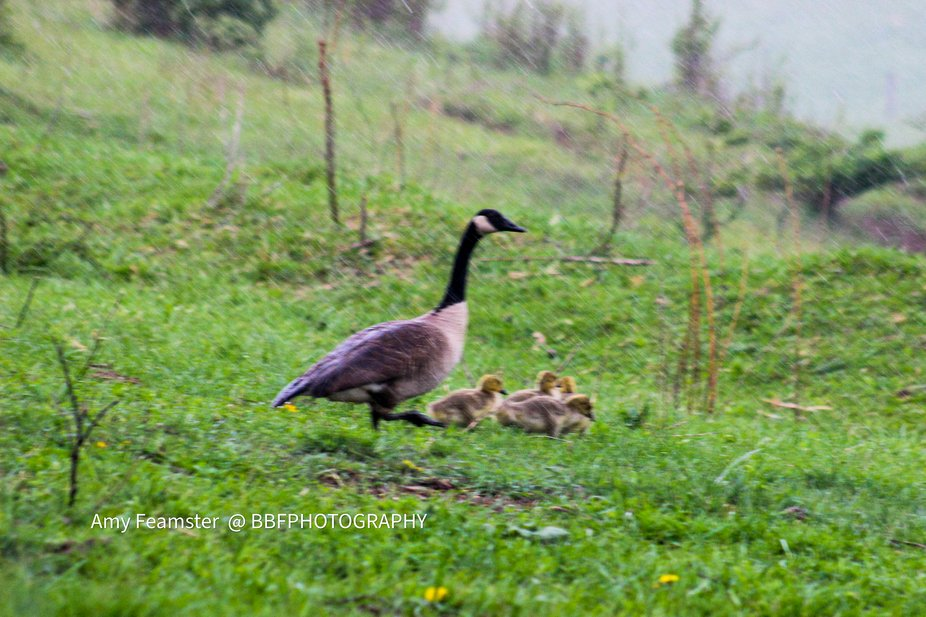 This mama was teaching her babies even in the  pouring rain