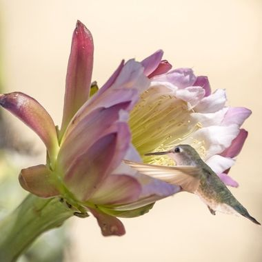 Cactus flower and hummingbird