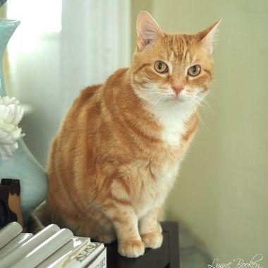 Butterscotch Tabby Cat Portrait