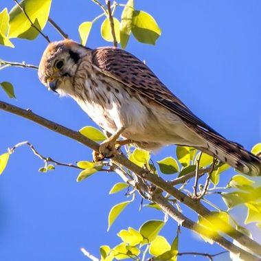Young Kestrel Falcom