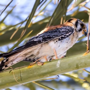 Young Kestrel Falcon