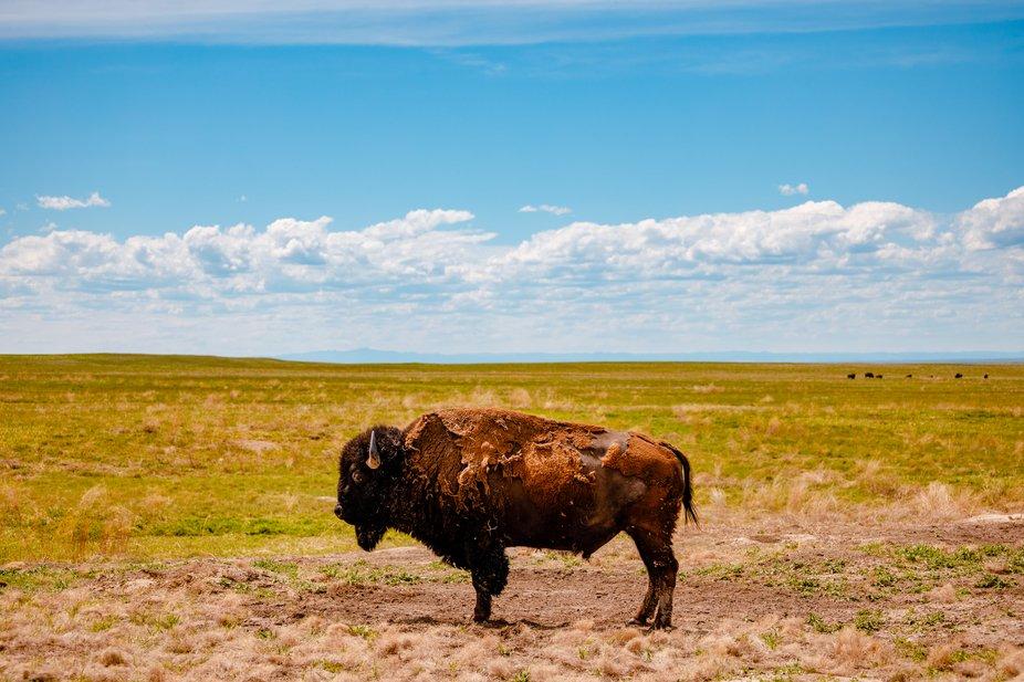 A lone buffalo overlooks the plains of South Dakota.