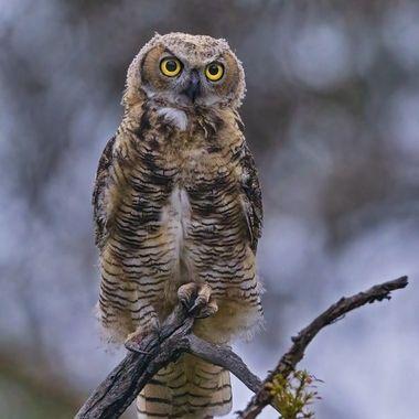Great-horned Owl Juvenile DSC06903