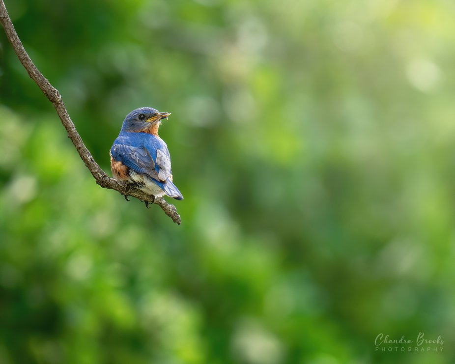 Eastern Bluebird with Lunch