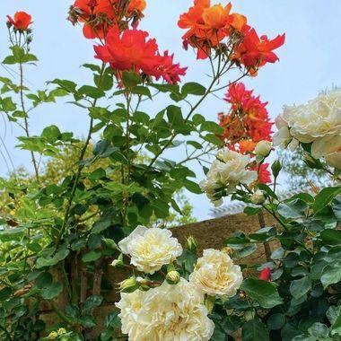 Rosa Joseph Coat roses spring explosion!