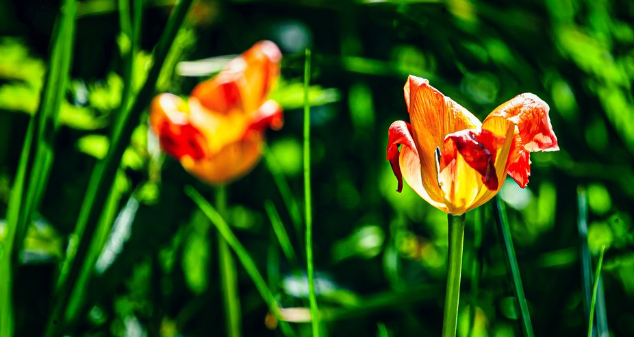Transience of tulips
