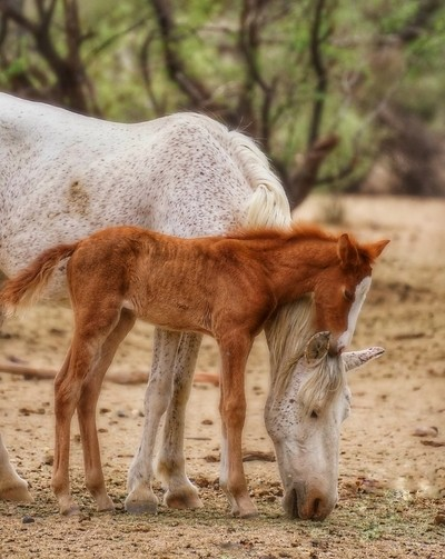 A wild mare with her young filly.