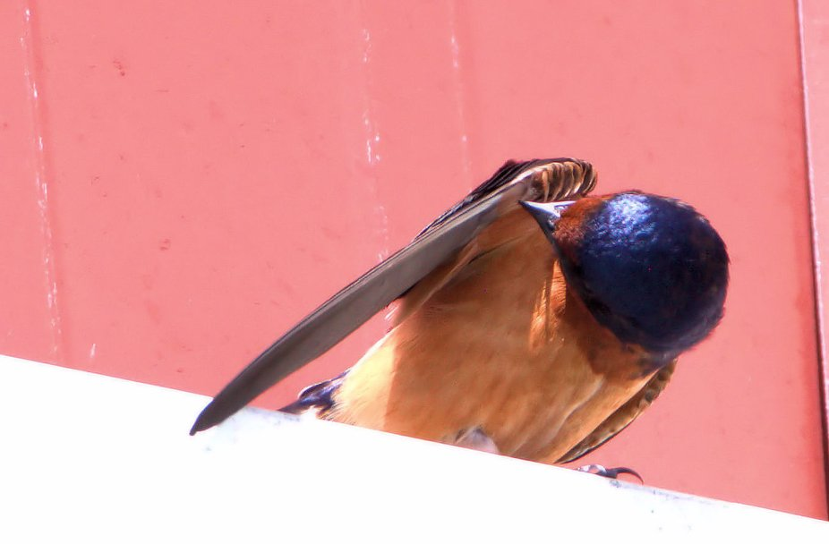 Barn Swallow Cleaning