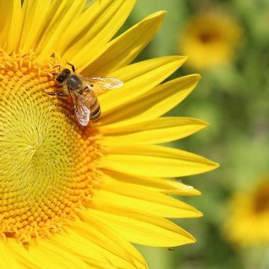 A sunflower field in my hometown