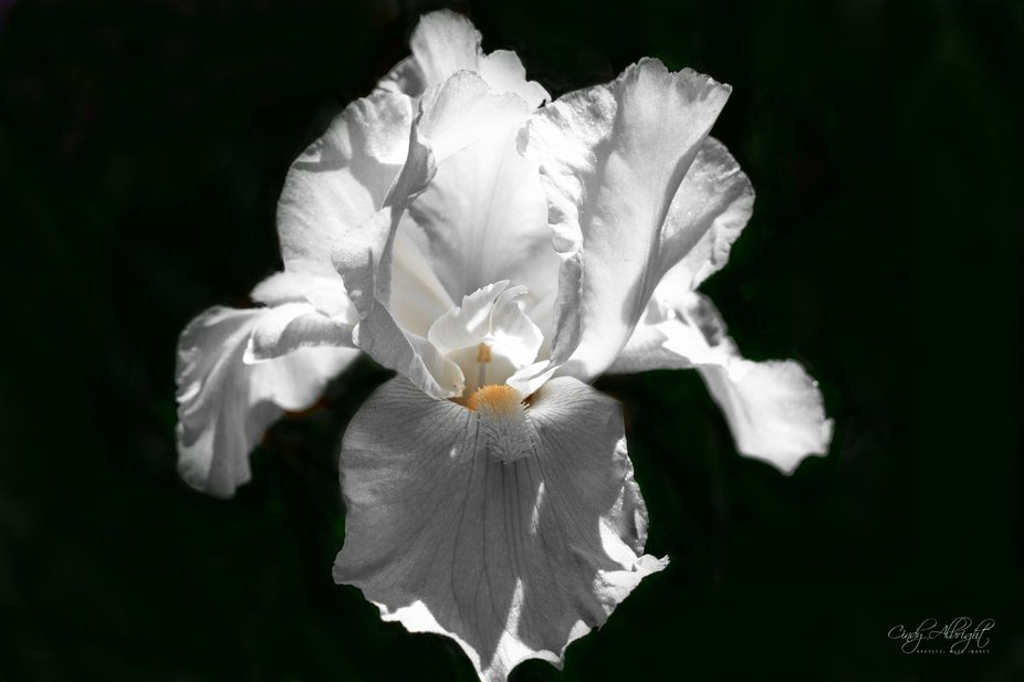 The lighting on this beautiful Iris makes it look so pure it leaves me in awe of it's be...