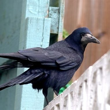 The rook is a member of the Corvidae in the passerine order of birds. It is a large, gregarious, black-feathered bird, distinguished from similar species by the whitish featherless area on the face.