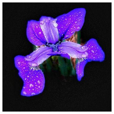 Liquid Purple Iris