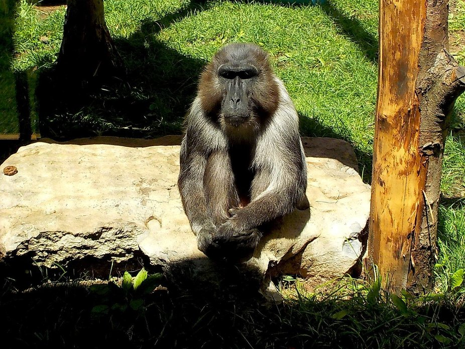 The handsome and wise Rafiki from our wildlife park.