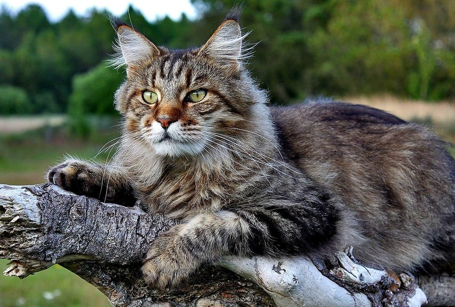 Morton the Mainecoon Cat chilling on his favorite tree.