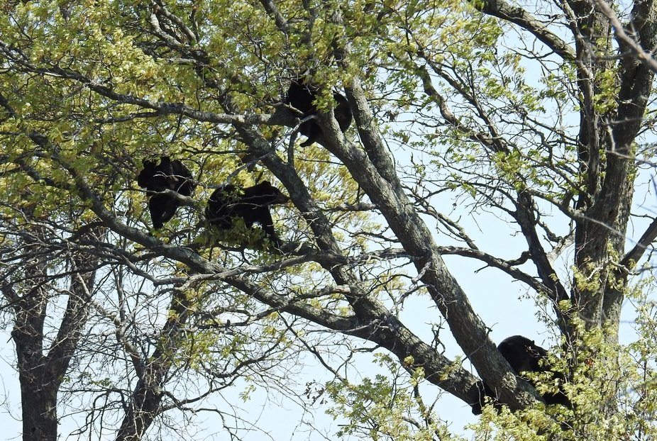 A tree full of bears???? 5-18-21 Grantsburg Wisconsin