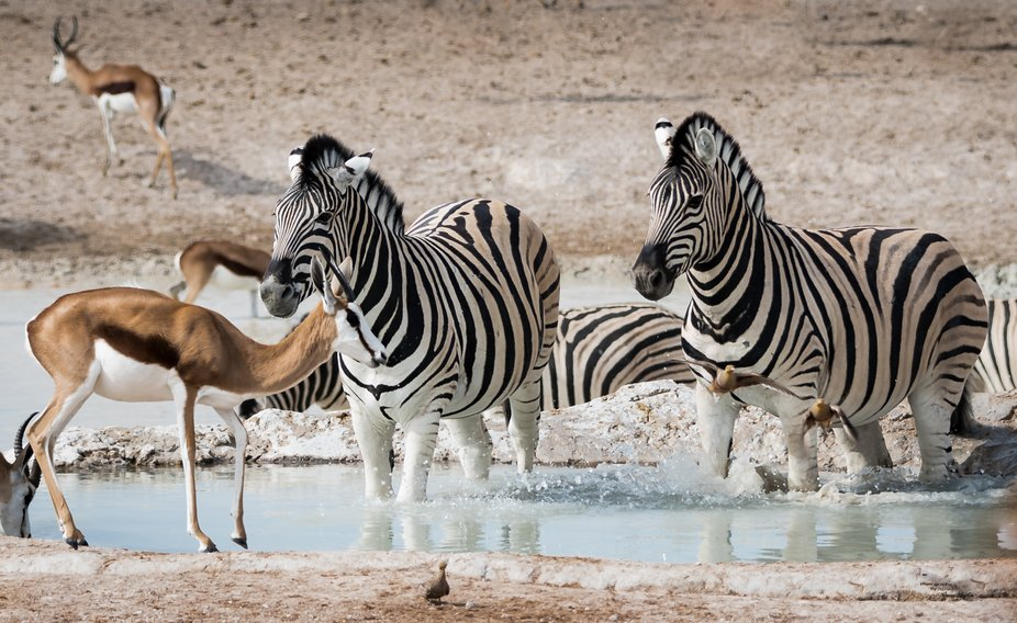 A beautiful sight to see.  All the animals mingled together at the water after the lions left.  L...