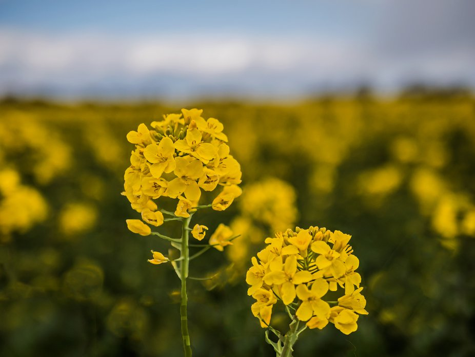 Close up of Oil Seed Rape Flowers on the Marlborough Downs, Wiltshire