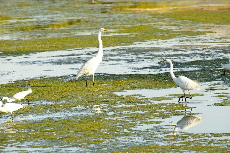 Snowy Egrets amd Great Egrets