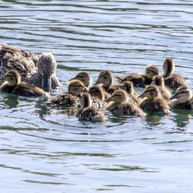 Ducks-R-Us 13 plus mama