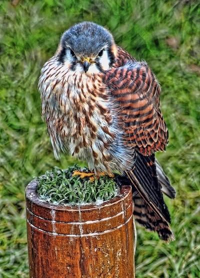 Bird of prey\