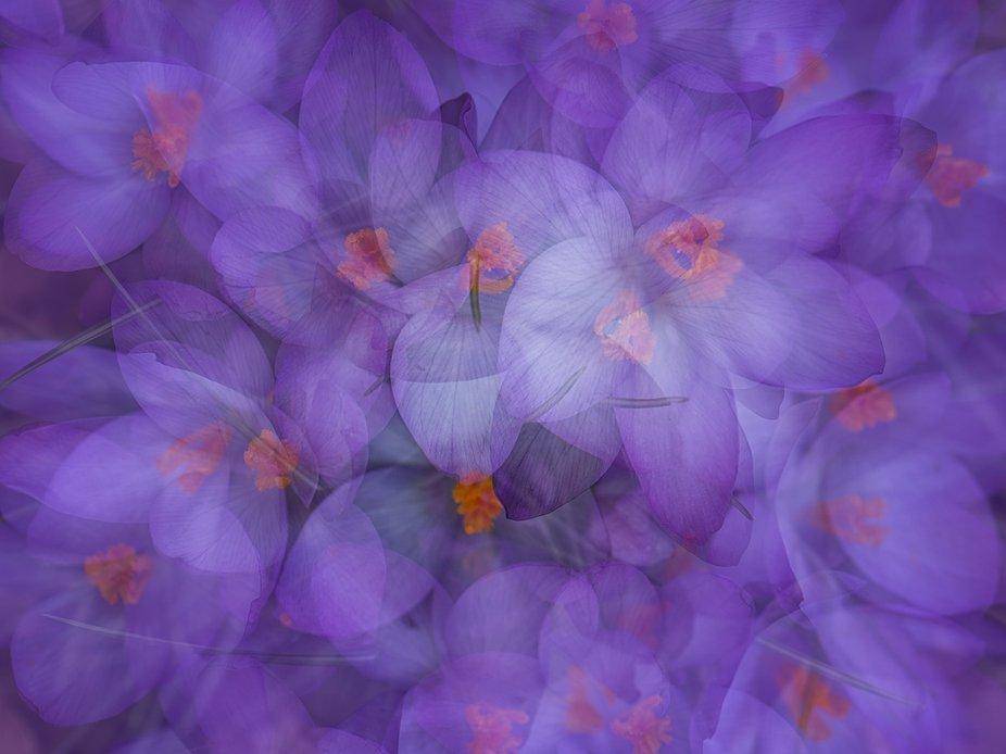 Multiple exposure in camera of purple Crocuses in the shade. Shot with my 105mm macro lens.