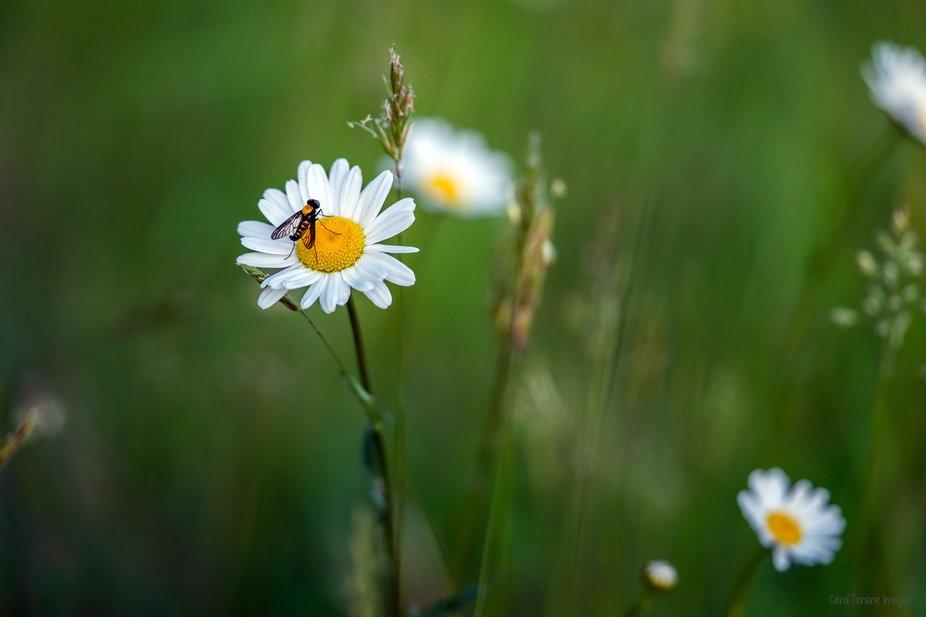 DSC02364 Bee on Daisy