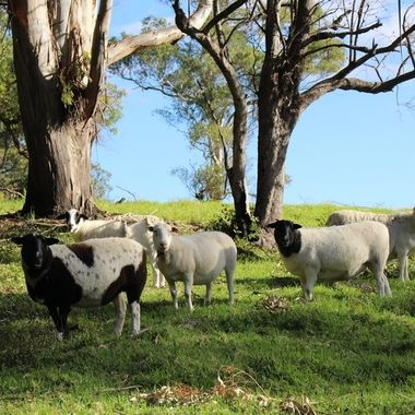 The sheep, up the bush