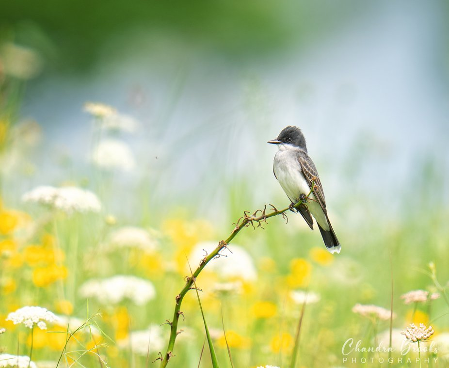 Eastern Kingbird Realxing in a meadow