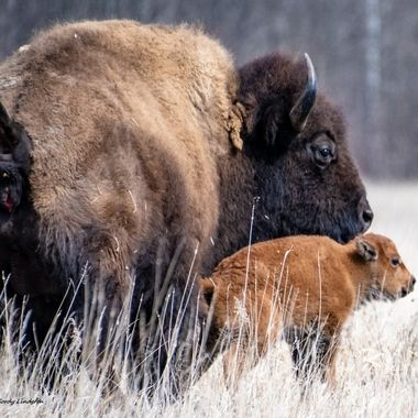 This baby buffalo stayed very close to mom!