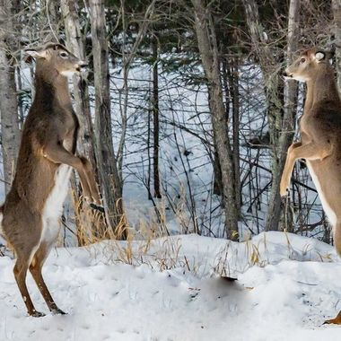 A doe and buck squared off for a fight but it didn't last long