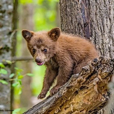 A brown phase black bear spring cub playing on a downfallen tree