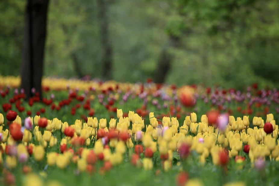 So beautiful tulips