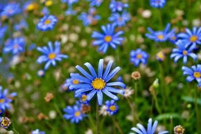 Blue daisy pop