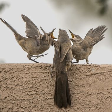 Thrashers singing for their supper