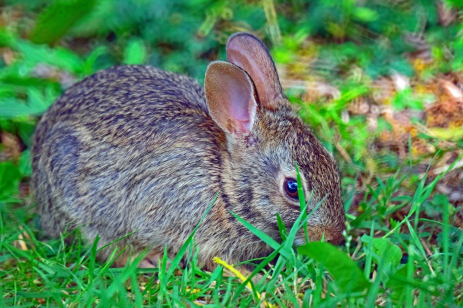 A Baby Cottontail Rabbit