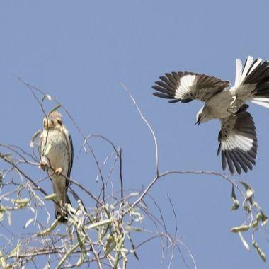 Mockingbird bird harassing a Kestrel Falcon, but the Falcon doing all the laughing
