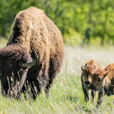 Bison Calves at Play!