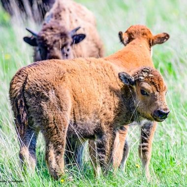 Love the smile on this little buffalo calf