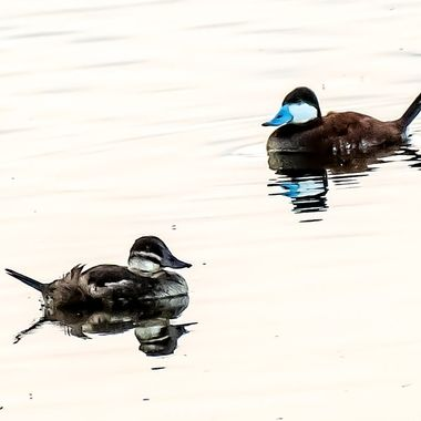 An unusual site around my part of Northern Minnesota. Very nice to see this strange little duck with a different bill!