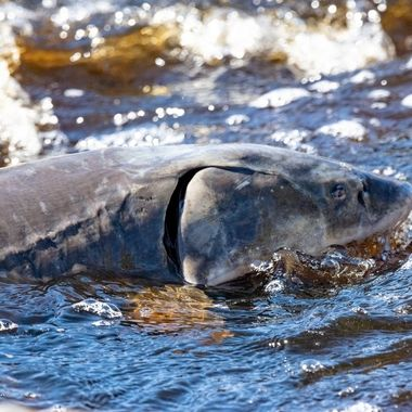 There was so many in the Rapid River that they occasionally came out of the water