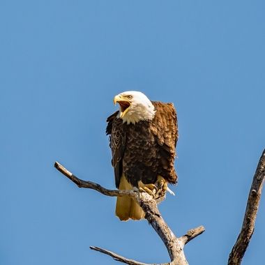 Getting ready to feed the little one this eagle stopped to regurgitate some food before moving on to the nest