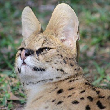 Serval, portrait