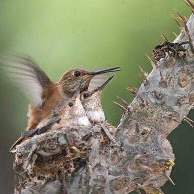 Allen's Hummingbird mom and babies DSC08967