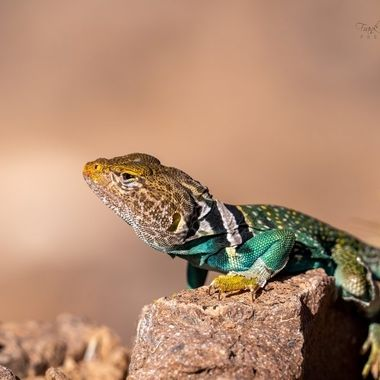 Lizard in the Arizona desert.