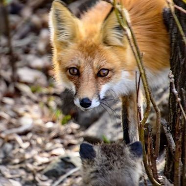 A young red fox kit welcomes mom home at the den.